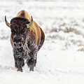 Bison In Snow by Stacy White