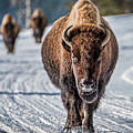 Bison In The Road - Yellowstone by Stuart Litoff