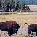 Bison In Yellowstone by Jerry Battle