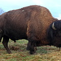 Bison by Ken Keener
