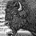 Bison by Lindy Pollard