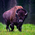 Bison Of Yellowstone by Jim Hatch