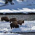 Bison On River Strand by Kae Cheatham