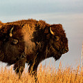 Bison Pair by Jay Stockhaus