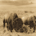 Bison Pair by Patrick  Flynn