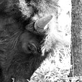 Bison Portrait Monochrome by Christiane Schulze Art And Photography