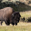 Bison by Ronnie and Frances Howard