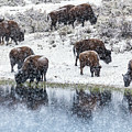 Bison Snow Reflecton by Daryl L Hunter