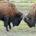 Bison Standoff by Dennis Hammer