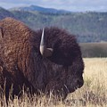Bison Strength by Michelle Fairchild