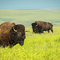 Bison by Tracy Munson