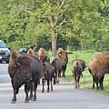 Bison Traffic Jam by Bobbie Moller