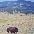 Bison Trail by Michelle Fairchild