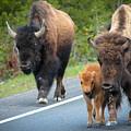 Bison Walking by Scott Richard