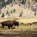 Bison With Calf by Mirko Chianucci