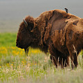 Bison With Cowbird On Back by Alan Lenk