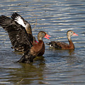 Black-bellied Whistling Ducks by Ronald Lutz