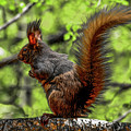 Black Abert's Squirrel - Half And Half by Marilyn Burton