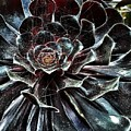 Black Aeonium by Mo Barton