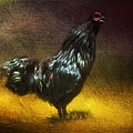 Black Ameracauna Coltyn's Rooster  by Christina VanGinkel