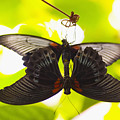 Black And Red Butterflies by Tomas del Amo - Printscapes