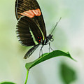 Black And Red Butterfly Resting On The Branch by Jaroslaw Blaminsky