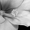 Black And White Amaryllis Bloom by James BO Insogna