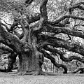 Black And White Angel Oak Tree by Louis Dallara