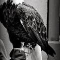 Black And White Bald Eagle by Thomas Comeau