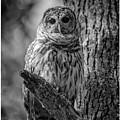 Black And White Barred Owl by Joe Gliozzo