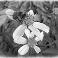 Black And White Bee by Elaine Ferrell