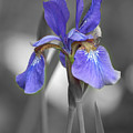 Black And White Blue Bearded Iris by Brenda Jacobs