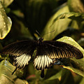 Black And White Butterfly by Judy Vincent