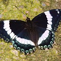 Black And White Butterfly by Lisa Gilliam