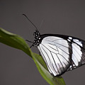 Black And White Butterfly by Penny Lisowski