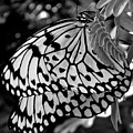 Black And White Butterfly by Shelley Jones