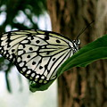 Black And White Butterfly by Sherri Williams
