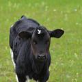 Black And White Calf Standing In A Field by DejaVu Designs
