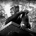 Black And White Chimpanzee by Emily Kelley