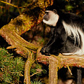 Black And White Colobus Monkey by Nick Biemans