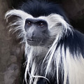 Black And White Colobus Monkey by Penny Lisowski