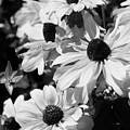 Black And White Coneflowers by Jim And Emily Bush