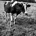 Black And White Cow by Pati Photography
