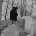 Black And White Crow On Gray Stone by Gothicrow Images