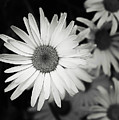Black And White Daisy 1 by Alisha Jurgens