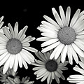 Black And White Daisy 2 by Alisha Jurgens