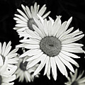 Black And White Daisy 3 by Alisha Jurgens