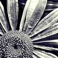 Black And White Daisy  by Kat J