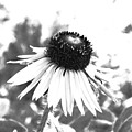 Black And White Daisy by Marna Edwards Flavell