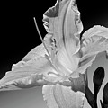 Black And White Daylily by Phyllis Denton